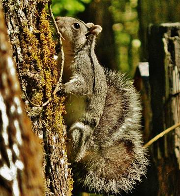 Photograph - Our Backyard Squirrel by VLee Watson