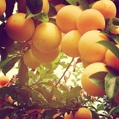 Orange Photograph - Our Plum Tree Is Loaded This Year...any by Blenda Studio