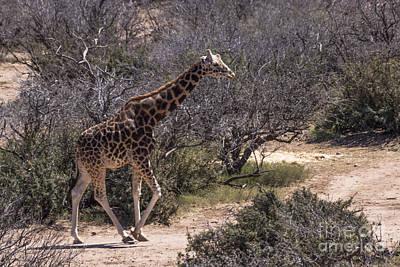 Out Of Africa Giraffe Art Print by Janice Rae Pariza