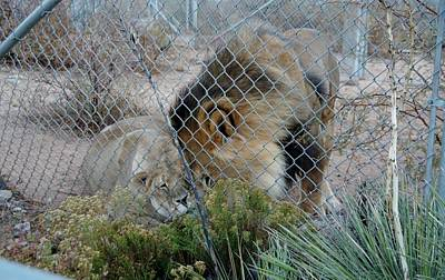 Photograph - Out Of Africa Lions 4 by Phyllis Spoor