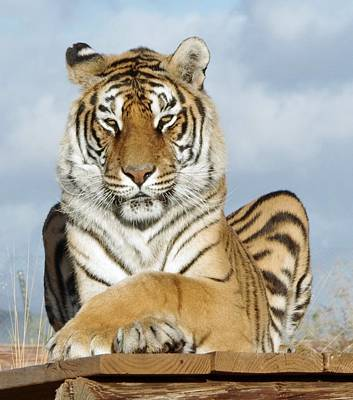 Photograph - Out Of Africa Tiger 3 by Phyllis Spoor