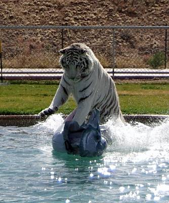 Photograph - Out Of Africa Tiger Splash 1 by Phyllis Spoor