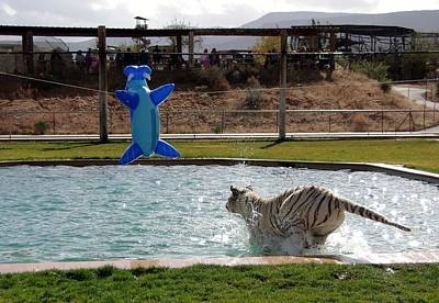 Photograph - Out Of Africa Tiger Splash 3 by Phyllis Spoor