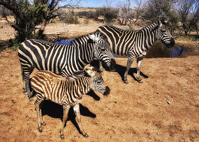 Black And White Of Zebras Photograph - Out Of Africa Zebra Family by Priscilla Burgers