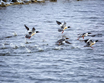 Photograph - Out Of Here - Common Mergansers by Jack R Perry
