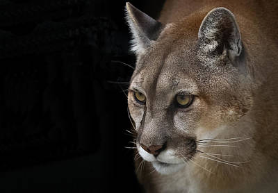 Puma Photograph - From Out Of The Darkness by Annette Hugen
