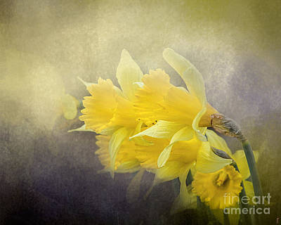 Photograph - Out Of The Darkness - Daffodils by Jai Johnson