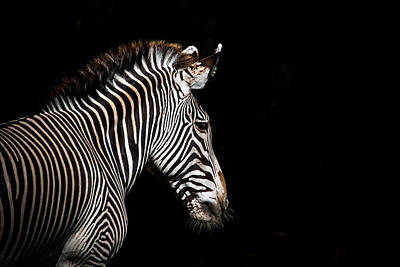Zebra Photograph - Out Of The Shadows by Scott Mullin
