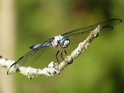 Dragonfly. Dragon Fly Photograph - Out On A Limb by JC Findley