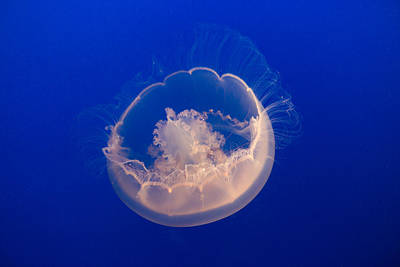 Photograph - Over The Moon Jelly by Scott Campbell