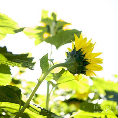Overexposed Sunflower Art Print by Bernard Jaubert