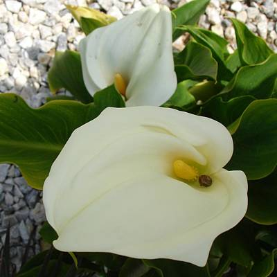 Photograph - Overhead View Of Two Calla Lilies In A Garden by Tracey Harrington-Simpson