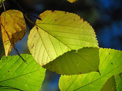 Photograph - Overlapping Leaves 1 by Teresa Cox