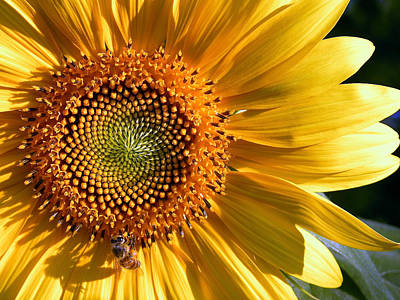 Overtime Photograph - Overtime Sunflower With Honeybee Shadow by Sindi June Short
