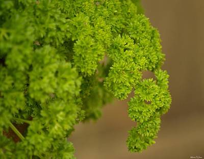 Photograph - Overwintered Parsley by Maria Urso