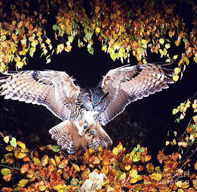 Photograph - Owl About To Land by Manfred Danegger
