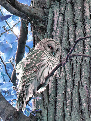 Photograph - Owl And Tree Bark Blue by Laurie Tsemak