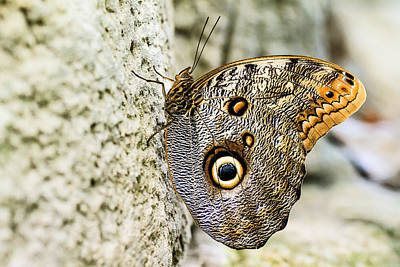 Photograph - Owl Butterfly 1 by Ben Graham