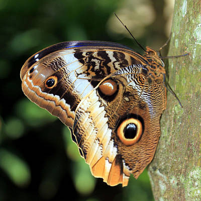 Photograph - Owl Butterfly 2 by Bob Slitzan