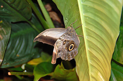 Photograph - Owl Butterfly by Aimee L Maher Photography and Art Visit ALMGallerydotcom