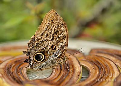 Photograph - Owl Butterfly Breakfast by Olga Hamilton