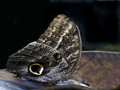 Photograph - Owl Butterfly. by Chris  Kusik