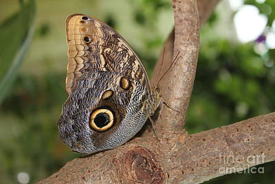 Photograph - Owl Butterfly by David Grant