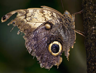 Photograph - Owl Butterfly by Heather Applegate