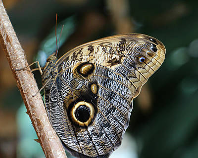 Photograph - Owl Butterfly by Kathy M Krause