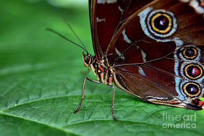 Photograph - Owl Butterfly by Matthew Naiden