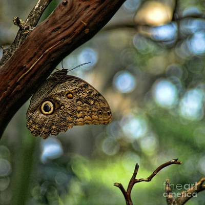 Photograph - Owl Butterfly by Peggy Hughes