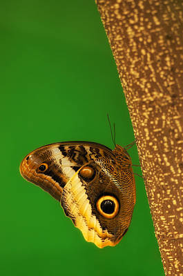 Photograph - Owl Butterfly by Photography  By Sai