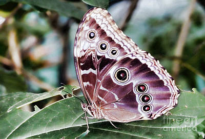 Photograph - Owl Butterfly by Polly Peacock