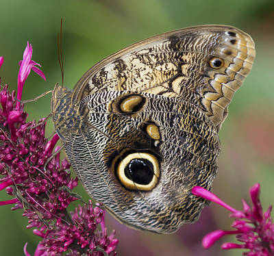 Photograph - Owl Butterfly by Sean Allen