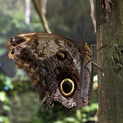 Sutton Photograph - Owl-eye Butterfly (caligo by William Sutton