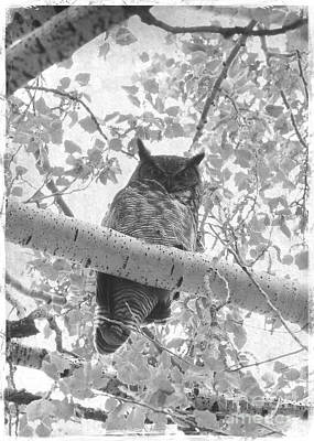 Photograph - Owl In Cottonwood - Black And White by Carol Groenen