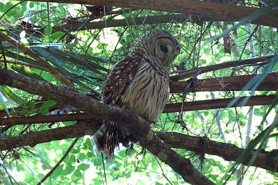 Photograph - Owl In Florida Swamp by Teresa Cox