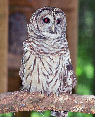 Photograph - Owl by Lee Hartsell
