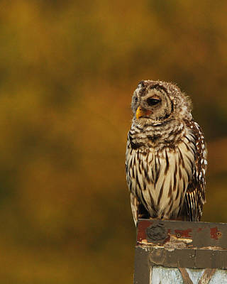 Photograph - Owl On A Fence by Charles McKelroy