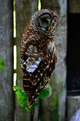 Photograph - Owl by Richard Zentner