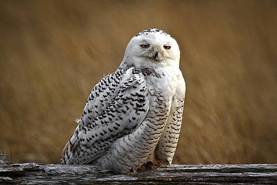 Photograph - Owl With Attitude by Wes and Dotty Weber