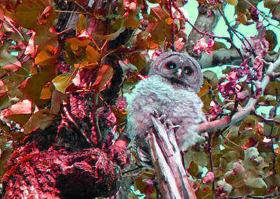 Photograph - Owlet 2 by Laurie Tsemak
