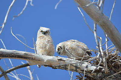 Owlets In White Art Print