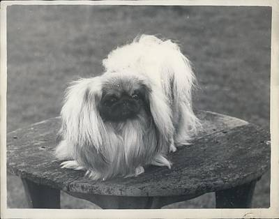 Owner- Refuses £10,500 Offer For Pekinese Art Print by Retro Images Archive