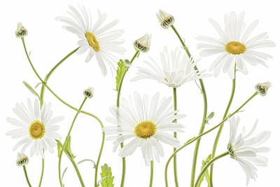 Floral Photograph - Ox Eye Daisies by Mandy Disher