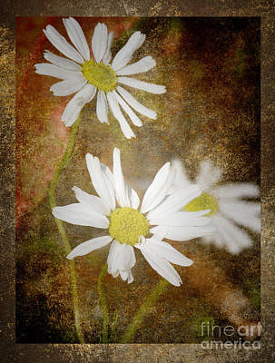 Ox Eye Dasies Art Print