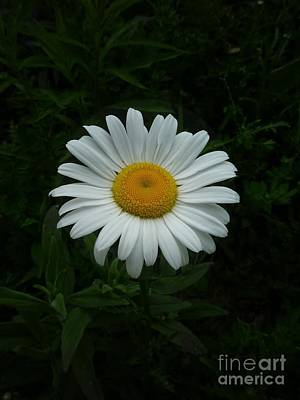Photograph - Ox-eyed Daisy by William OBrien