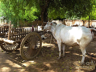 Photograph - Ox With Oxcart In Farmyard Wetkyi In Near Lanmadaw 3 Road Nyaung Oo Bagan Burma by Ralph A  Ledergerber-Photography
