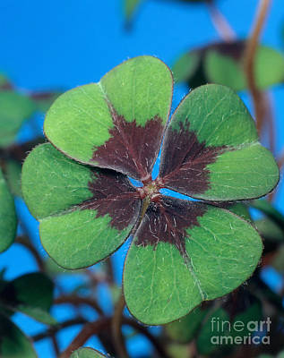 Photograph - Oxalis by Hans Reinhard