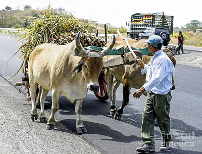 Photograph - Oxen Load by Steven Ralser
